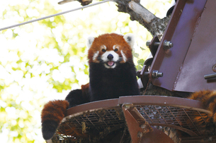 旭山動物園のレッサーパンダの写真素材 [FYI03012118]
