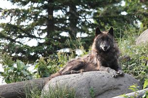 旭山動物園のシンリンオオカミの写真素材 [FYI03012125]