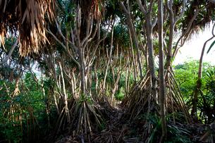 母島に自生するタコノキの写真素材 [FYI03012233]