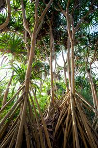 母島に自生するタコノキの写真素材 [FYI03012240]