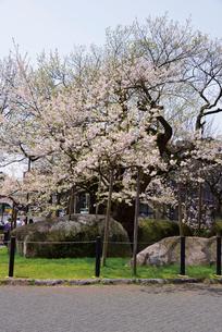 石割桜の写真素材 [FYI03012300]