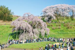 三春の滝桜の写真素材 [FYI03012319]