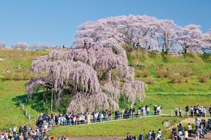 三春の滝桜の写真素材 [FYI03012320]