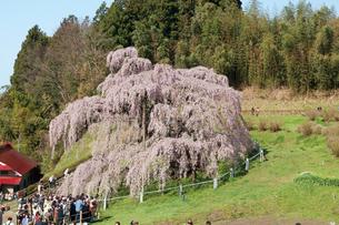 三春の滝桜の写真素材 [FYI03012322]