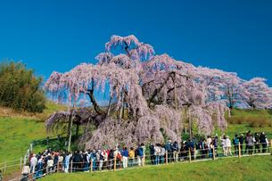 三春の滝桜の写真素材 [FYI03012324]