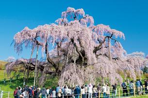 三春の滝桜の写真素材 [FYI03012326]