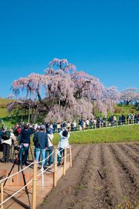 三春の滝桜の写真素材 [FYI03012327]