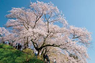三春町の桜の写真素材 [FYI03012332]