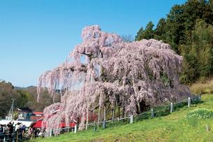三春の滝桜の写真素材 [FYI03012335]