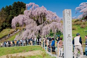 三春の滝桜の写真素材 [FYI03012347]