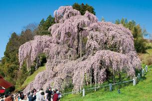三春の滝桜の写真素材 [FYI03012349]