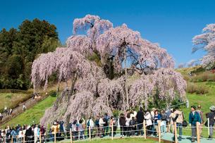 三春の滝桜の写真素材 [FYI03012350]