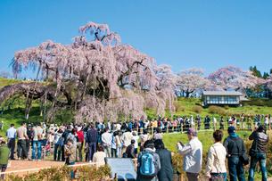 三春の滝桜の写真素材 [FYI03012351]