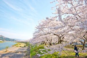 桜咲く桧木内川堤の写真素材 [FYI03012778]