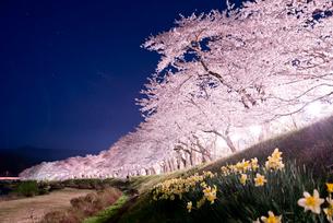 桧木内川堤の夜桜の写真素材 [FYI03012779]