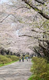 春の北上展勝地の写真素材 [FYI03012792]