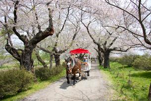 春の北上展勝地の写真素材 [FYI03012793]