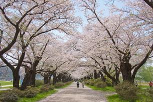 春の北上展勝地の写真素材 [FYI03012796]