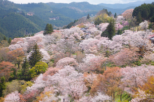 春の吉野山 吉野千本桜の写真素材 [FYI03013231]