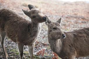 奈良公園若草山のニホンジカの写真素材 [FYI03013237]