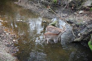 奈良公園で水浴びをするニホンジカの写真素材 [FYI03013241]