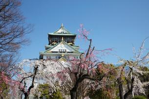 桜咲く大坂城跡の写真素材 [FYI03013250]