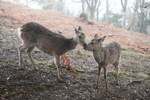 奈良公園若草山のニホンジカの写真素材 [FYI03013257]