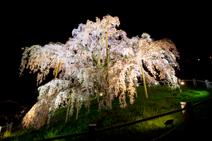 ライトアップされた三春の滝桜の写真素材 [FYI03013279]