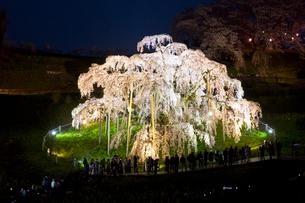 ライトアップされた三春の滝桜の写真素材 [FYI03013280]