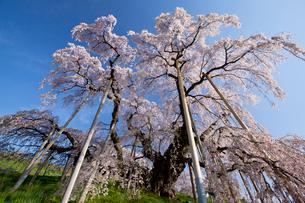 三春の滝桜の写真素材 [FYI03013283]