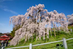 三春の滝桜の写真素材 [FYI03013287]