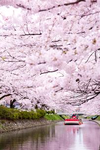 桜咲く松川公園を遊覧船で観光の写真素材 [FYI03013379]