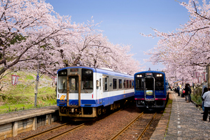桜咲くのと鉄道七尾線の能登鹿島駅のホームの写真素材 [FYI03013382]