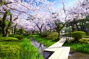桜咲く兼六園の曲水に架かる板橋の写真素材 [FYI03013422]