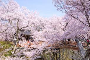 桜咲き誇る高遠城址公園の写真素材 [FYI03013434]