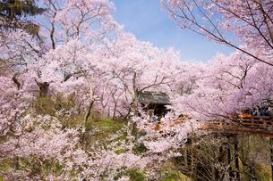 桜咲き誇る高遠城址公園の写真素材 [FYI03013440]