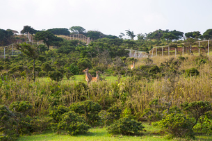 野崎島のサバンナ 野生するキュウシュウジカの写真素材 [FYI03013964]