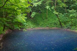 白神山地に点在する十二湖の青池の写真素材 [FYI03014287]