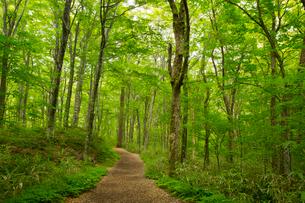 白神山地の十二湖のブナ自然林の写真素材 [FYI03014305]