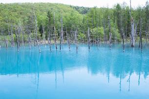 立ち枯れた木々が印象的な青い池の写真素材 [FYI03014692]