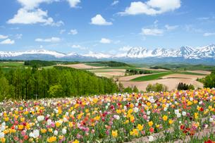 チューリップが咲き誇る四季彩の丘の写真素材 [FYI03014758]