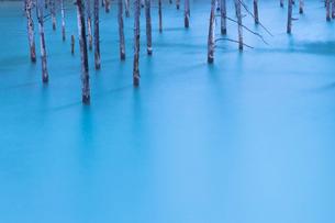立ち枯れた木々が印象的な青い池の写真素材 [FYI03014761]