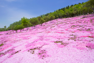 芝ざくらが咲き誇る芝ざくら滝上公園の写真素材 [FYI03014776]