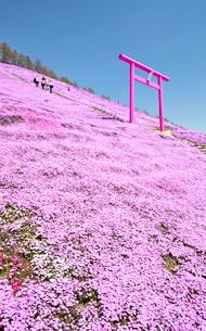 芝ざくらが咲き誇る東藻琴芝桜公園の写真素材 [FYI03014785]