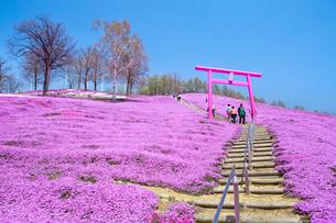 芝ざくらが咲き誇る東藻琴芝桜公園の写真素材 [FYI03014788]