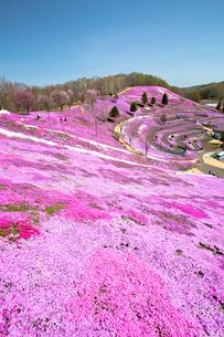芝ざくらが咲き誇る東藻琴芝桜公園の写真素材 [FYI03014792]