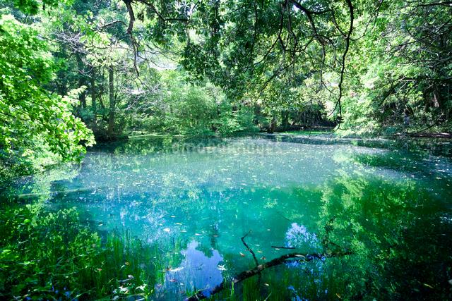 鳥海山からの湧水で満たされる丸池様の写真素材 [FYI03014821]