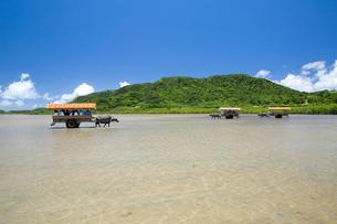 由布島と西表島の間を行き交う水牛車の写真素材 [FYI03014958]