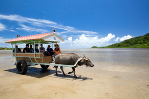 由布島と西表島の間を行き交う水牛車の写真素材 [FYI03015008]