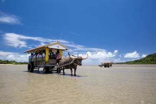 由布島と西表島の間を行き交う水牛車の写真素材 [FYI03015010]